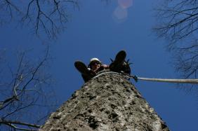 Climber, removing tree due to decay. Photo: Adrina C. Bardekjian