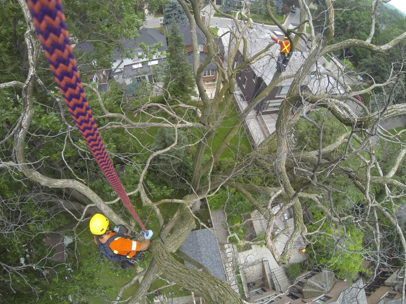 Arborists in tree tops